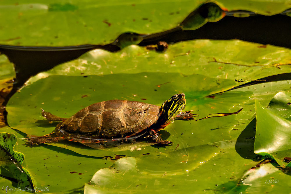 An eastern painted turtle (Chrysemys picta) basks on a lillypad eye-to-eye with an approaching emerald damselfly (Lestes sponsa) and it shadow in Mount Auburn Cemetery, Cambridge, Massachusetts.  <br /> <br /> The eastern painted turtle is the most widespread native turtle of North America. Fossils show that the painted turtle existed 15 million years ago. The adult painted turtle female is 10&ndash;25 cm (4&ndash;10 in) long while the male is smaller. Reliant on warmth from its surroundings, the painted turtle is active only during the day when it basks for hours on logs or rocks, or in this unusual case on a lillypad. During winter, these turtles hibernate, usually in the mud at the bottom of the pond. Adults in the wild can live for more than 55 years.<br /> <br /> Damselflies (suborder Zygoptera) are similar to dragonflies but have slender bodies and are weaker fliers.  Most damselfly species fold their wings over the abdomen when stationary, and the eyes are well separated on the sides of the head.  In contrast, dragonflies (suborder Anisoptera) are heavy-bodied, strong-flying insects that hold their wings horizontally both in flight and at rest.