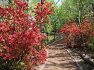 Azalias in the Hallett Nature Sanctuary in Central Park
