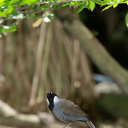 Black Throated Laughingthrush