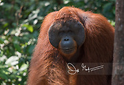 An adult male orangutan emerges from the forest of Tanjung Puting National Park on the island of Borneo, Indonesia.
