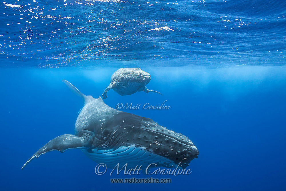 Mother and calf on the surface. The bumps on the head of all humpbacks are an evolutionary vestige of wiskers. (Photo by Underwater Photographer Matt Considine)