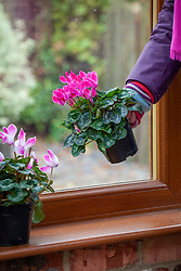 Placing a houseplant - cyclamen - on a window ledge in a conservatory