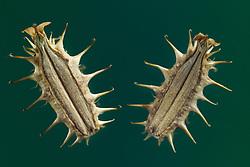 bur parsley (Caucalis platycarpos) - Möhrenförmige Haftdolde