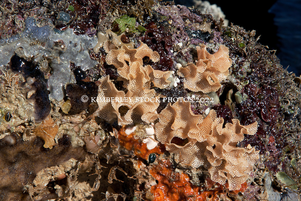 A bryozoan and encrusting sponges under a coral lump on Turtle Reef in Talbot Bay on the Kimberley coast.