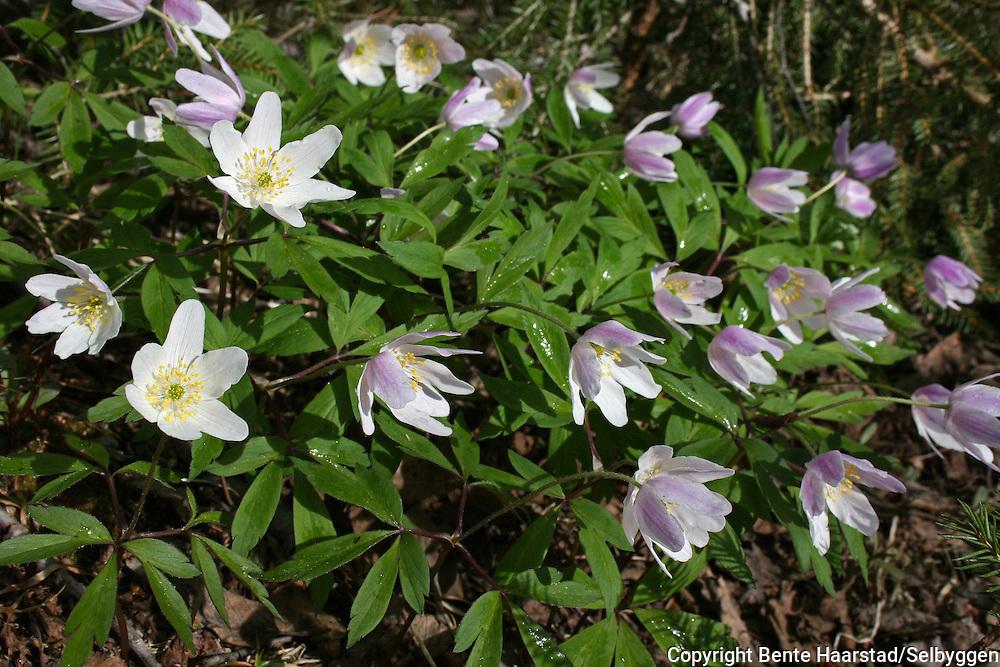 hvitveis. Foto: Bente Haarstad Spring flowers. Anemone nemorosa - hvitveis.