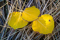 Three golden aspen leaves in Fall lie on the ground in Utah's Wasatch Mountains during Fall colors.