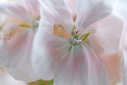 A close-up of a pale pink Pelargonium. showing the