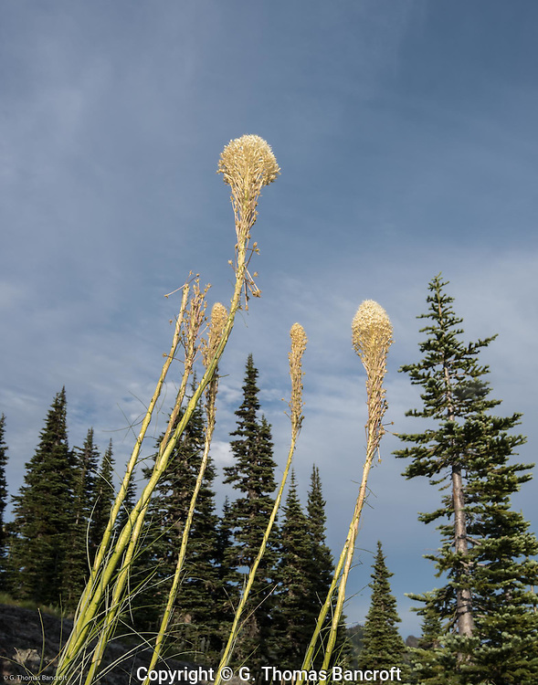 Beargrass blooms among the subalpine firs on Naches Peak Loop Trail.