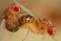 Mating Fruit Fly (Drosophila melanogaster) in a lab culture (wild type)    Das Männchen der Taufliege (Drosophila melanogaster) umwirbt das von ihm auserwählte Weibchen mit einer sirrenden Melodie, welche es mit Hilfe eines vibrierenden Flügels erzeugt. Überzeugt von der musikalischen Darbietung, lässt hier ein Weibchen die Begattung zu. Während der mehrere Minuten dauernden Paarung bieten die Vorderbeine und die Verbindung der beiden Geschlechtsöffnungen dem Männchen Halt auf dem Hinterleib des Weibchens. (Deutschland)