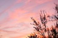 Photo sunset wall art. Santa Monica neon pink sky, bokeh, clouds, olive tree. Matted print, Westside, Venice, Los Angeles, Southern California photography. Fine art photography limited edition.