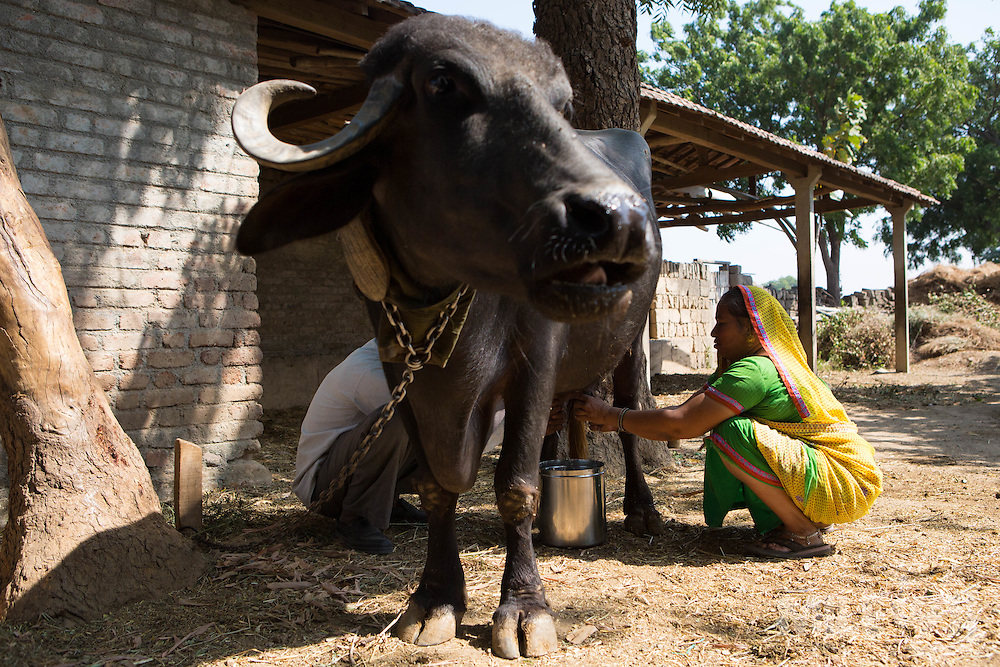 Vallabh and his wife, Prabhaben milking their cow Ahmedabad, India.<br /> <br /> They have recently installed some drip irrigation on their farm and they are seeing some real improvements in their cotton plants but they are also saving water and time.