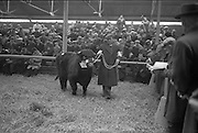 "20/02/1963.02/20/1963.20 February 1963.RDS Bull Show. 1'500 guineas were paid to Mr Maurice Dinneen, Garrylaurence, Dungourney, by the Dept. of Agriculture for his Dairy Shorthorn champion ""Garrylaurence Command"". Image shows Mr Dinneen with with his bull in the sales ring. The champion was sired by ""Letterkenny Eagle""."