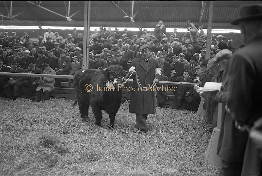 """20/02/1963.02/20/1963.20 February 1963.RDS Bull Show. 1'500 guineas were paid to Mr Maurice Dinneen, Garrylaurence, Dungourney, by the Dept. of Agriculture for his Dairy Shorthorn champion """"Garrylaurence Command"""". Image shows Mr Dinneen with with his bull in the sales ring. The champion was sired by """"Letterkenny Eagle""""."""