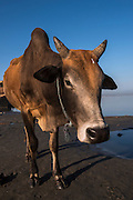 Cow<br /> Brahmaputra River Car Ferry launch site<br /> Assam<br /> North East India<br /> UNESCO World Heritage Site