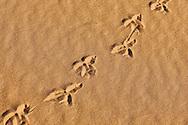 Bird track in desert sand, Sahara desert, Morocco.