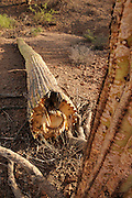 A saguaro cactus, (Carnegiea gigantea), vandalized by being shot with a gun, lies broken in Ironwood Forest National Monument in the Sonoran Desert near Eloy, Arizona, USA.