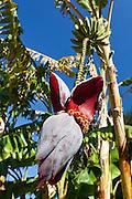 Agrigento, Valle dei Templi. Fiore di Banano nel Giardino della Kolymbetra. Proprietà FAI. ©2012 Vince Cammarata | FOS