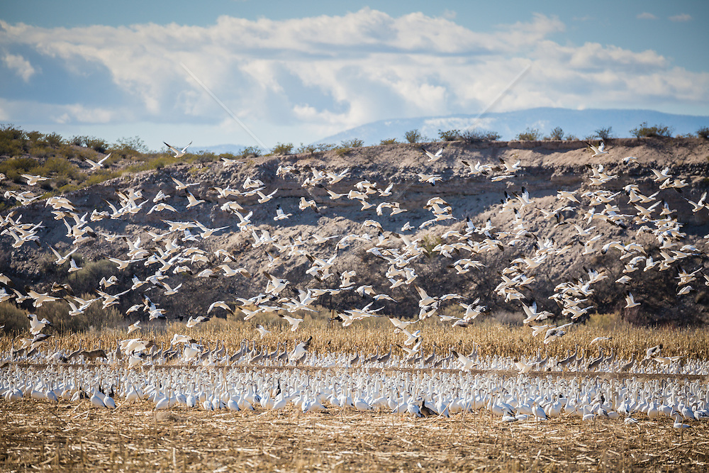 Geese taking flight at The Apache De Bosque in New Mexico