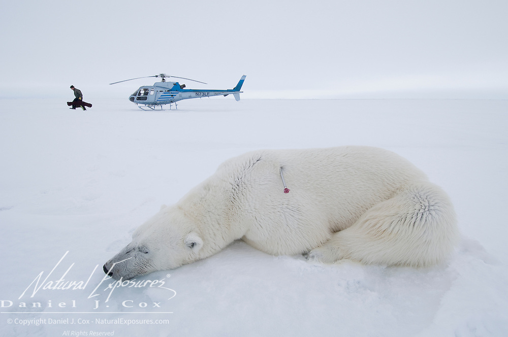 Polar Bear (Ursus maritimus) a large male lies immobilized on the ice as Dr. Steven Amstrup and his assistant head for a female that was darted at the same time and is down on the ice. Beaufort Sea, Alaska