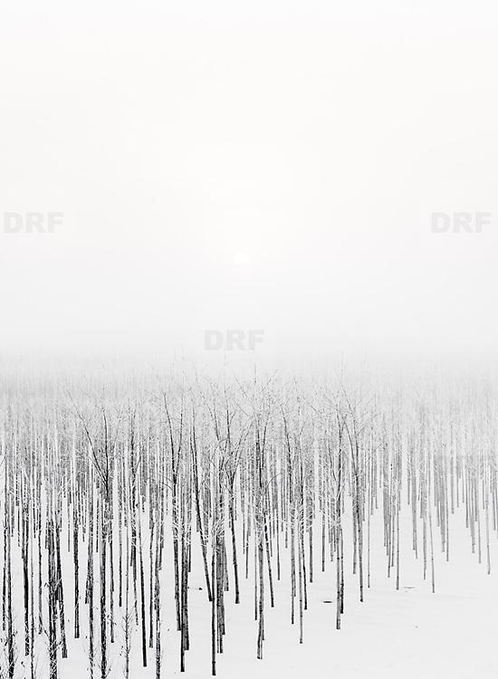 Nederland, 30 december 2010 Winterlandschap omgeving Tiel, kleine bomen in aanplant staan in de sneeuw op mistige dag.  schoon, sfeer, sfeerbeeld, slecht zicht, slechtziend, slechtziende, sneeuw, sneeuwval, space, spiegelbeeld, spiritueel, spirituele, ssneeuwen, stil, still, stilleven, stillshot, stilte, stock, stockbeeld, stockfoto, surrealistisch, surrealistische omstandigheden, symbolisch, symbolische, tree, uitzicht, vergezicht, vergezichten, verte, vervaagd, vervaagde, visueel gehandicapt beperkt, vredig, vredige, vriezen, vrij, vrijheid, wazig, wazige, weer, weersomstandigheden, weersomstandigheid, weersvoorspelling, wei, weide, weidsheid, weiland, weiland. Landscape, white, wijdheid, wijds, wijdsheid, winter, Winterkou, winters, winters weer, winterse, winterse taferelen, wintertijd, wintertime, winterzon, wit, wit dek, witte, zo vrij als een vogel, zwart wit, zwitserleven, zwitserleven gevoel, Nobody, omgeving, ongerept, onthaasten, ontspanning, open, opname, piece of art, platte land, platteland, polder, polder landschap, poldergebied, polderlandschap, readymade, romantisch landschap, ruimte, ruimtelijk, ruimtelijke, ruimtelijke omgeving, ruraal, rurale omgeving, rust, rustgevend, rustiek, rustieke, rustieke omgeving, rustig, rustige, schepping space, schone, schone lucht, schoon Foto: David Rozing