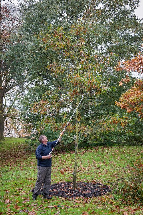 Tony Kirkham using long armed secateurs to prune Quercus georgiana for shape