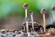 A small group of Mycena mushrooms