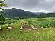 Kako'o Oiwi in Heeia, Kaneohe Bay, Oahu, Hawaii