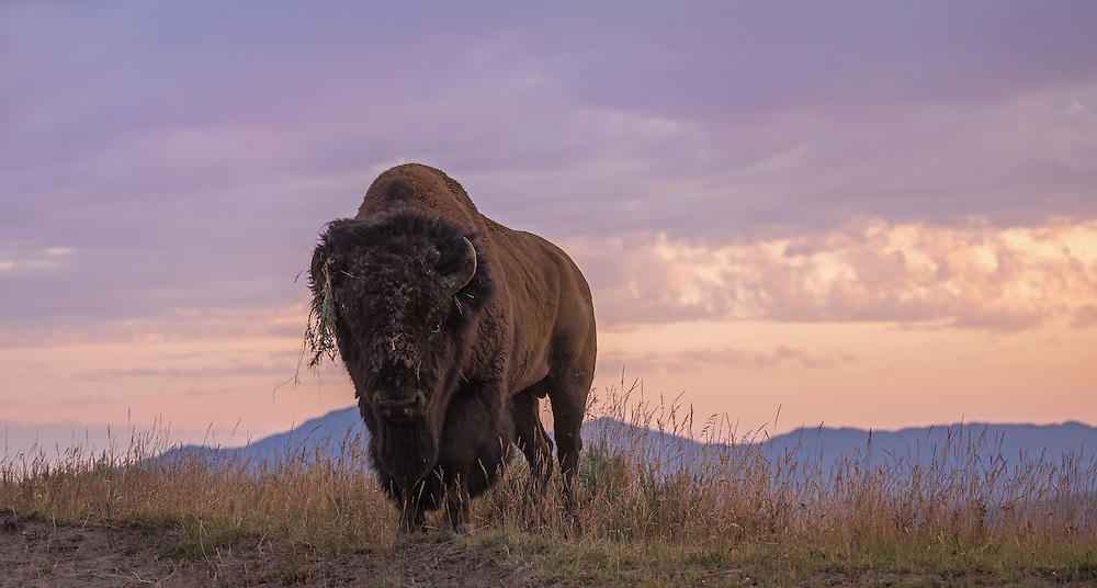 Ready for battle, a bull bison stares down an opponent during the bison rut in Yellowstone's Hayden Valley.