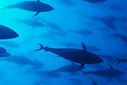 [captive] Atlantic Bluefin Tuna (Thunnus thynnus) [size of single organism: 150 cm]