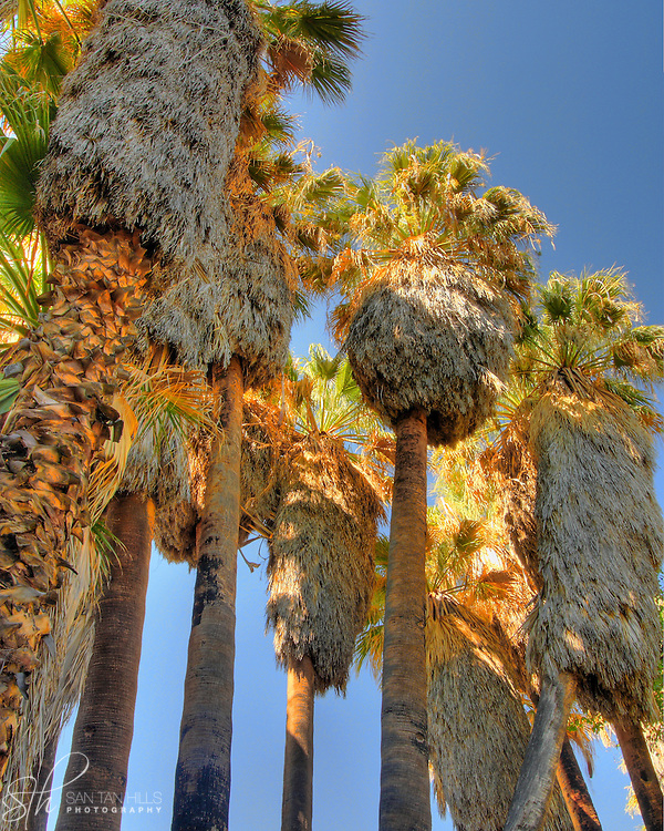 Palm trees towering over the Palm Lake Loop trail, at the Hassayampa River Preserve, Wickenburg, AZ