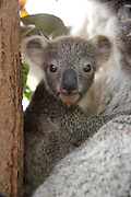 """TARONGA CELEBRATES SEASON'S FIRST KOALA JOEY<br />  <br /> Taronga Zoo is celebrating the arrival of its first koala joey for this year's breeding season, with a tiny face starting to emerge from its mother's pouch.<br />  <br /> The female joey has been spotted mouthing its first eucalyptus leaves and slowly exploring the world outside the pouch to the delight of keepers and visitors.<br />  <br /> """"She's still quite shy, but we're beginning to see her little face more and more,"""" said Koala Keeper, Laura Jones.<br />  <br /> Part of Taronga's koala breeding program, the yet-to-be-named joey is the third for experienced mother, Wanda, and the first born at the Zoo this breeding season.<br />  <br /> """"Wanda is a very relaxed and attentive mum. She keeps her little one nice and close at all times and I've never seen her complain when the joey is scratching around with its claws inside her pouch,"""" said Laura.<br />  <br /> At six months old, the joey will continue to gain weight and the fluffy fur for which koalas are known. She will spend at least another four months with her mother before venturing out on her own.<br />  <br /> Tour groups have begun meeting Wanda and her joey at Taronga's Koala Encounter, where they learn more about one of Australia's most iconic species and how they are under threat from urban development and forestry breaking up their natural habitat.<br /> ©Paul Fahy/Exclusivepix Media"""