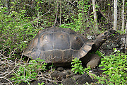 Galapagos giant tortoise. The Galapagos giant tortoise (Chelonoidis nigra) is the largest living species of tortoise, reaching a weight of over 400kg and a length of over 1.8 metres. It is native to the Galapagos Islands. Photographed on the Galapagos Islands, Ecuador.