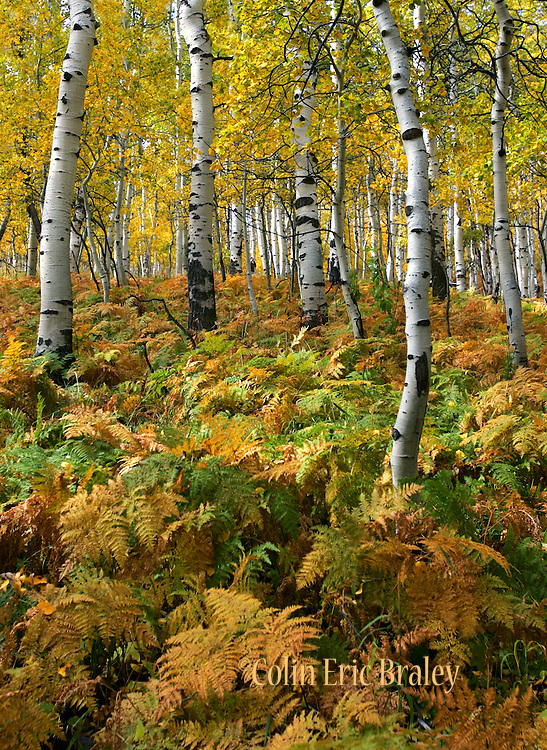 Aspens and ferns show their fall colors along the Alpine Loop Road on the Wasatch mountain range near Sundance, Utah.