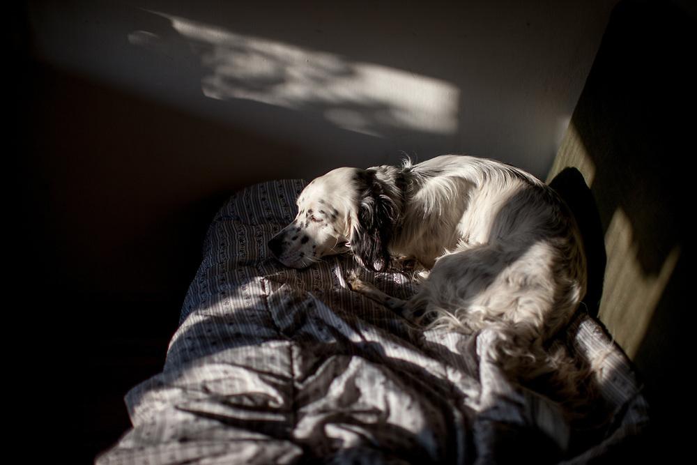 """English Setter """"Rudy"""" liegt am 17.06. 2018 im frühen Morgenlicht in Lysa nad Labem (Tschechische Republik) auf der Couch. Rudy wurde Anfang Januar 2017 geboren."""