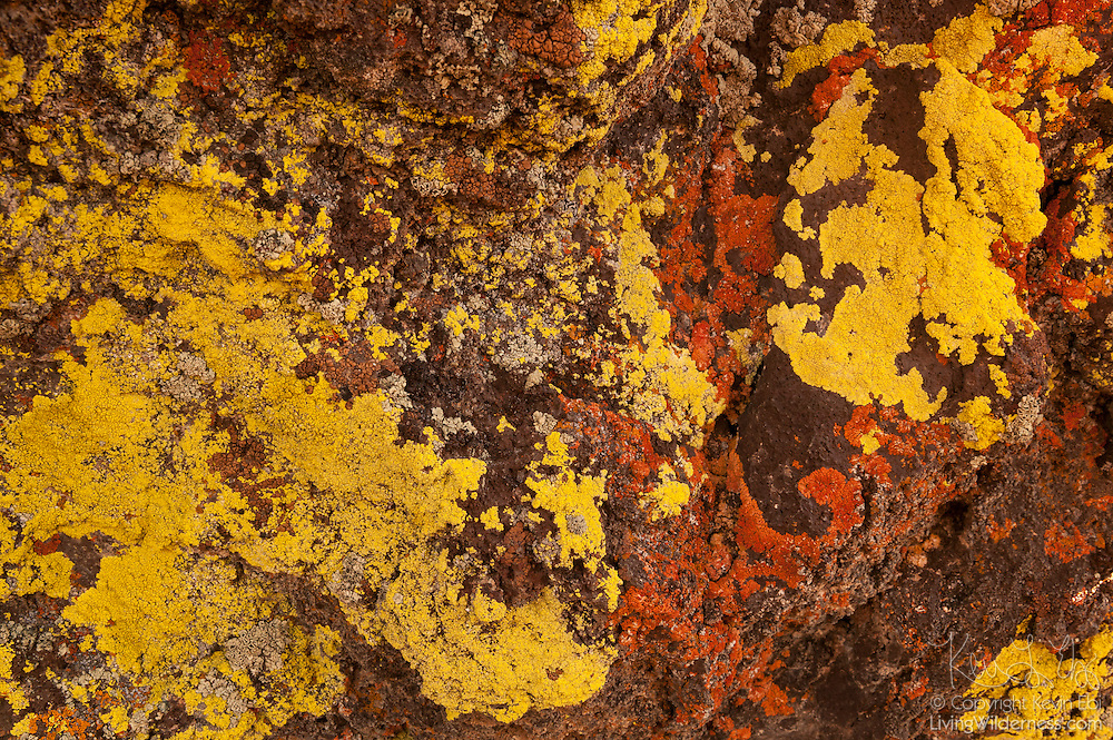 Colorful crustose lichens grow on lava rock at Craters of the Moon National Monument in Idaho. Lichens are a symbiosis of a fungus and a green alga and/or cyanobacterium. Crustose are very slow growing, typically growing 1 millimeter or less per year.