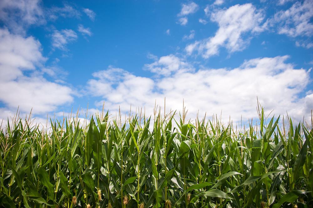 Corn field<br /> Indiana PA