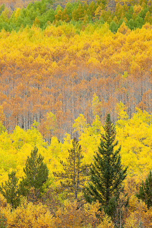 Fall color on Monarch Pass near Salida, Colorado.