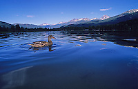 A Duck floats in Alta Lake, Whistler, BC Canada, surrounded by a panorama of mountains.