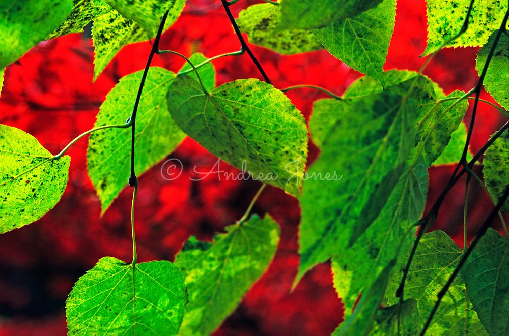 Tilia cv (lime) leaves against Acer palmatum septalobum foliage in autumn