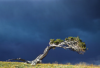 Bristlecone Pine (Pinus aristata).  This Bristlecone has grown into the leeward direction caused by strong winds.  Windy Ridge, Colorado.