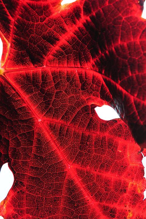 pattern of veins, red grape leaf