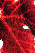 pattern of veins, red grape leaf