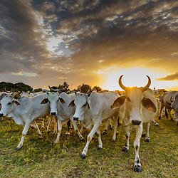 Cows get fed in the Mennonite community of Little Belize at sunset, Belize.