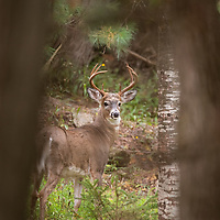 White-tailed deer (Odocoileus virginianus) buck, Canada. October.
