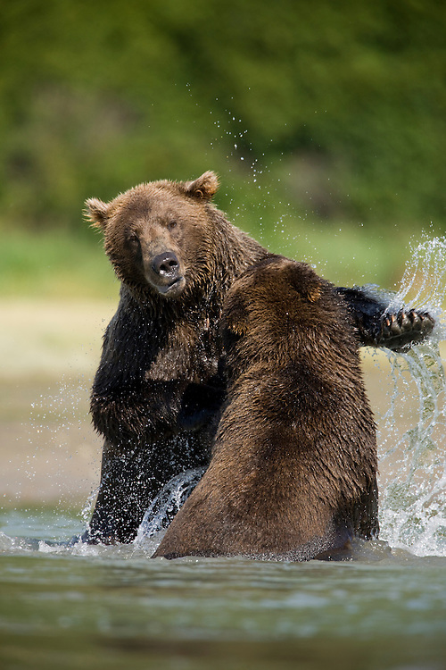 USA, Alaska, Katmai National Park, Kukak Bay, Brown Bears (Ursus arctos) sparring in shallow stream in late summer