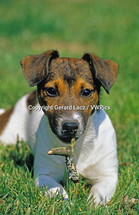 Jack Russel Terrier, Adult laying on Grass, Playing with a Stick of Wood