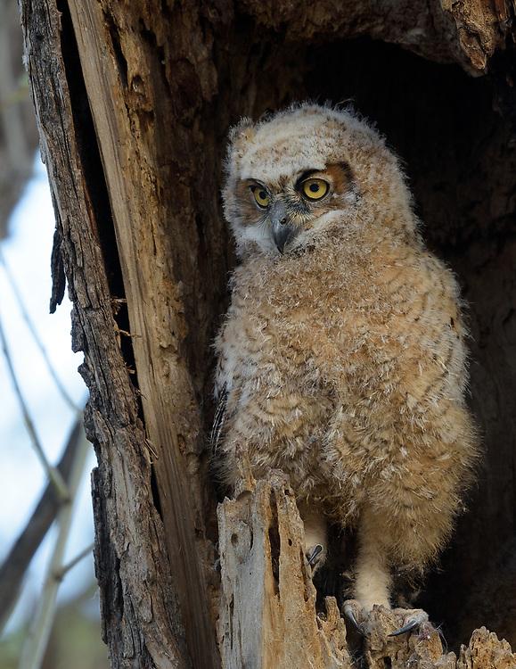 Great Horned Owlet, Twin Lakes Open Space, Gunbarrel, Colorado