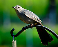 Gray Catbird. Image taken with a Fuji X-T2 camera and 100-400 mm OIS lens (ISO 200, 347 mm, f/11, 1/170 sec).