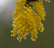 They call it the Wattle Tree, we call it Acacia