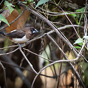 "The white-rumped munia or white-rumped mannikin (Lonchura striata), sometimes called striated finch in aviculture, is a small passerine bird from the family of waxbill ""finches"" (Estrildidae). These are close relatives of the true finches (Fringillidae) and true sparrows (Passeridae)."